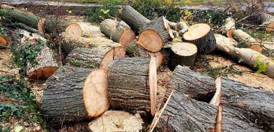 рубка здорових дерев Мукачево